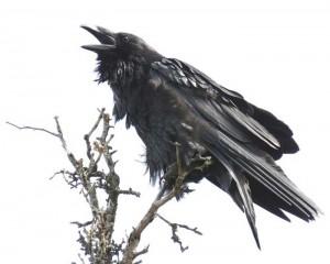 raven_calling